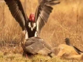 Vultures Vs Crow Vs Jackal - English