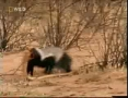 Honey Badger-The Most Fearless Animal on Earth - English