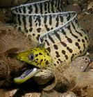 Natures Perfect Predators - Moray Eel - English